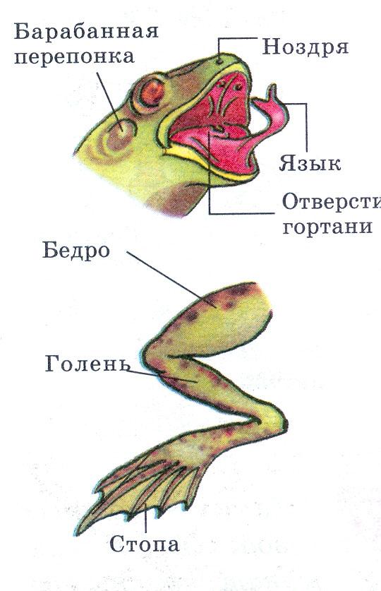 что является органом слуха у лягушек Диана Гурцкая